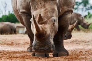 SaveThe Rhino.org