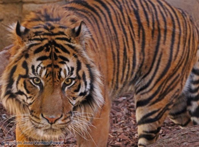 tiger-copyright-jonovernon-