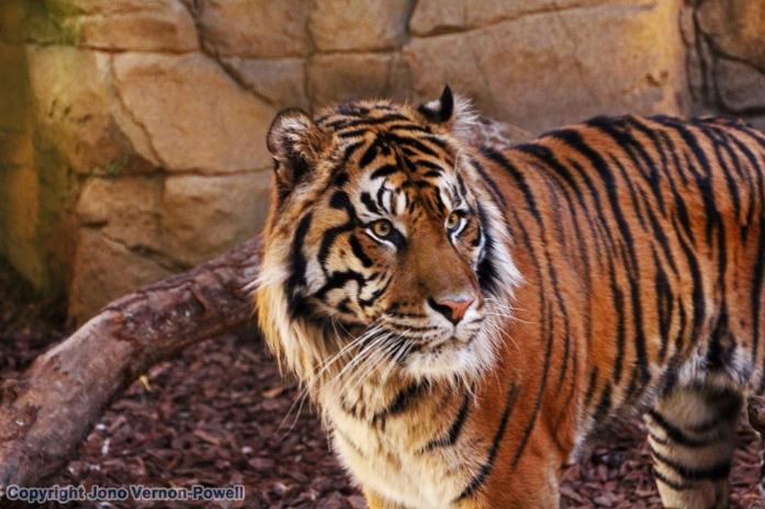 tiger-conservtion-copyright