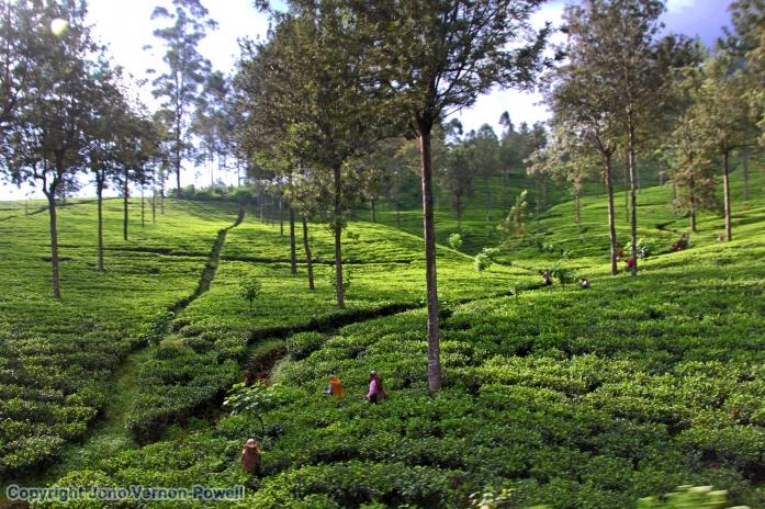 tea-pickers-sri-lanka-copyr