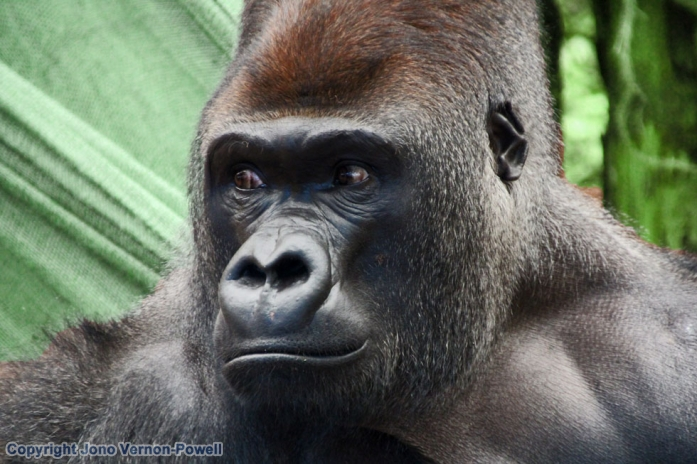 gorilla-copyright-nomadic-t