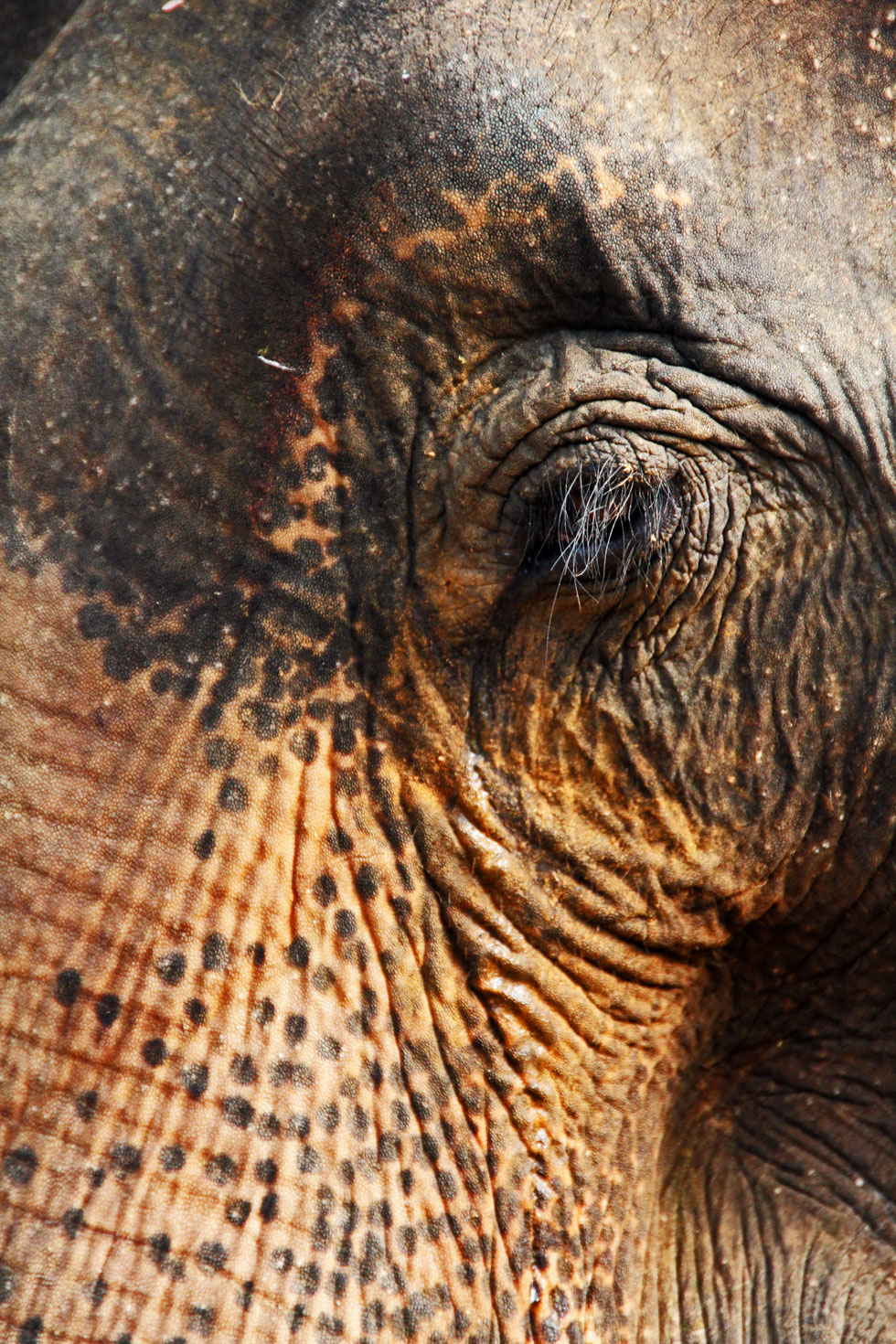elephant-eye-copyright-jono