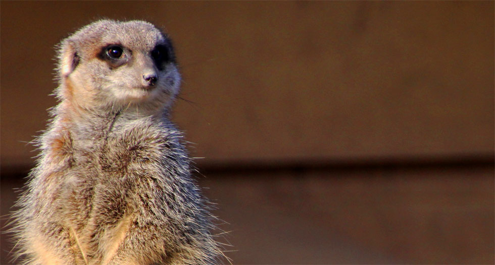 Lemur cousin