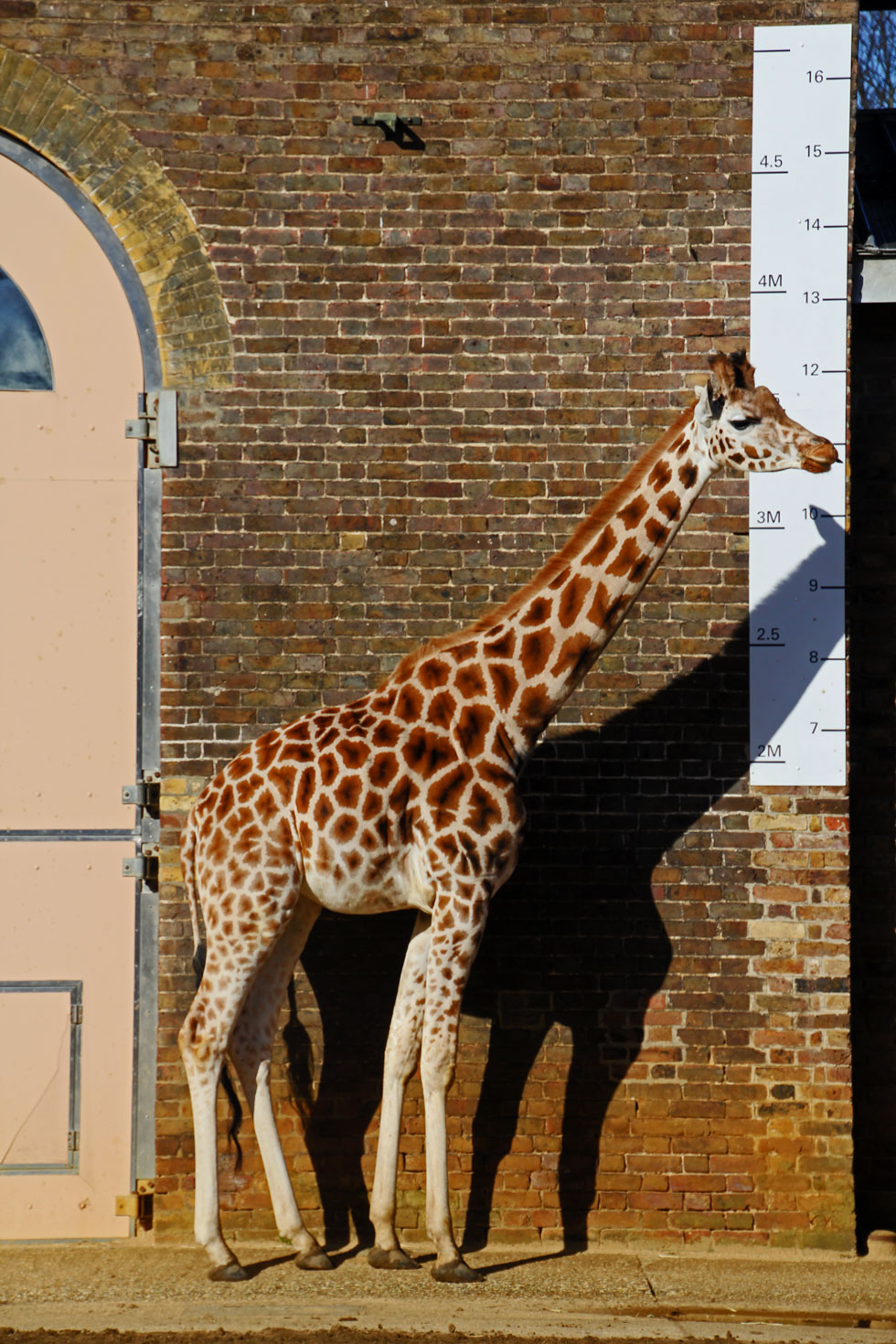 giraffe-zoo-copyright-jonov