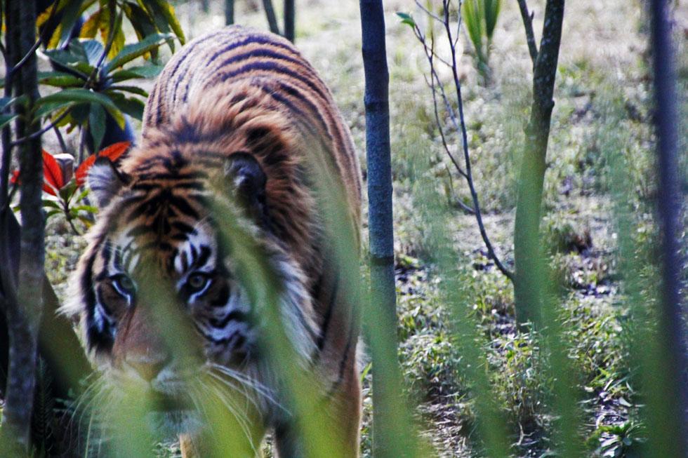 tiger-prowl-copyright-jonov