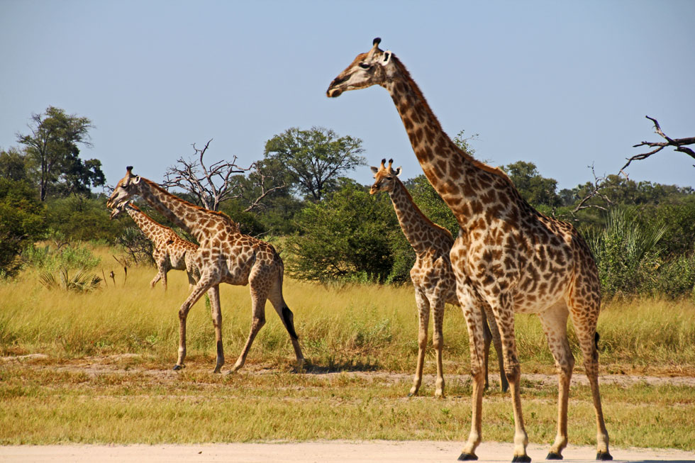 Giraffes on deserted runway.