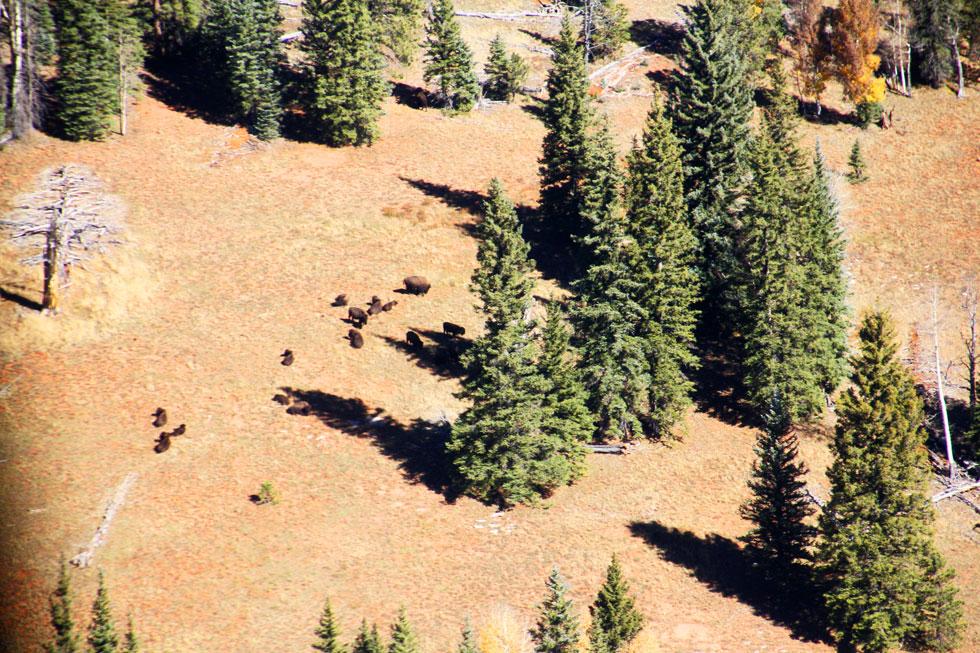 Buffalo - north rim pine forest