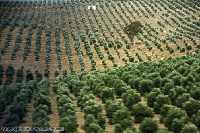 andalucian-olive-plantation-copyright-jono-vernon-powell