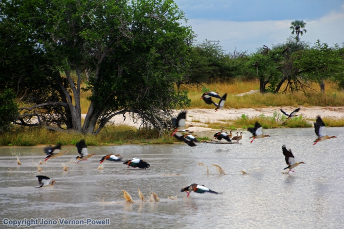 spur-winged-geese-africa-co