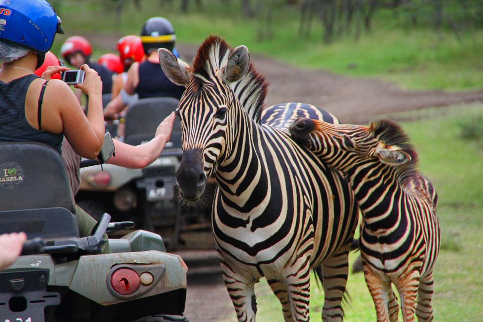 quad-bike-zebras-copyright-