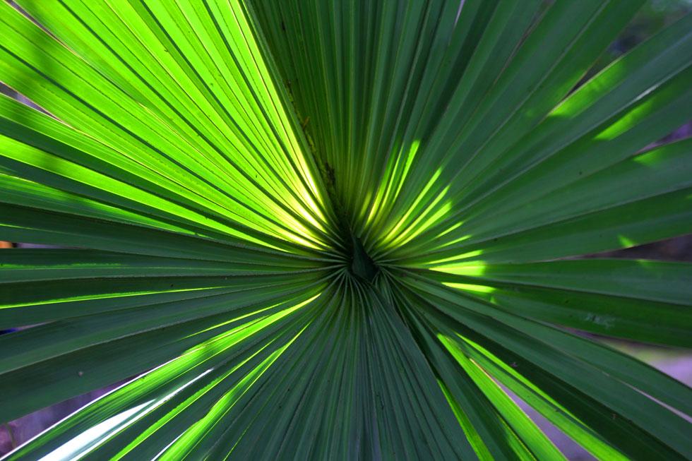 coba-palm-copyright-jono-ve