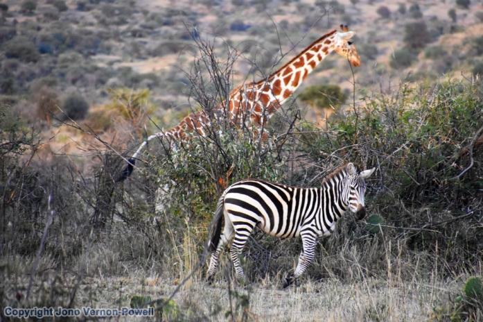 laikipia-girffe-zebra-copyr